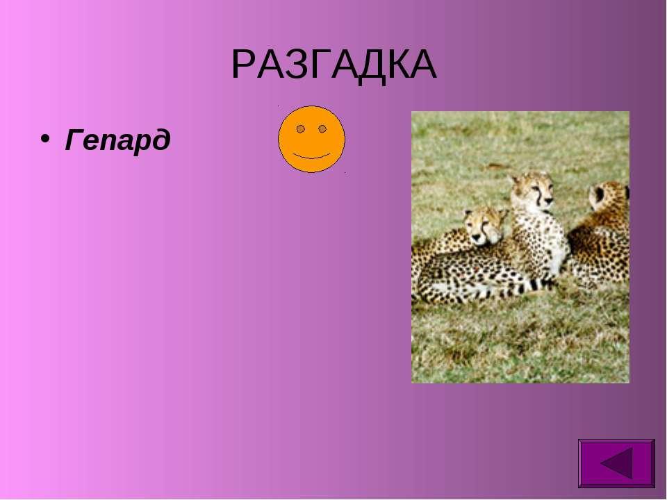 РАЗГАДКА Гепард