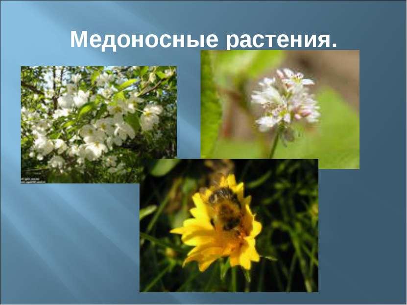 Медоносные растения.