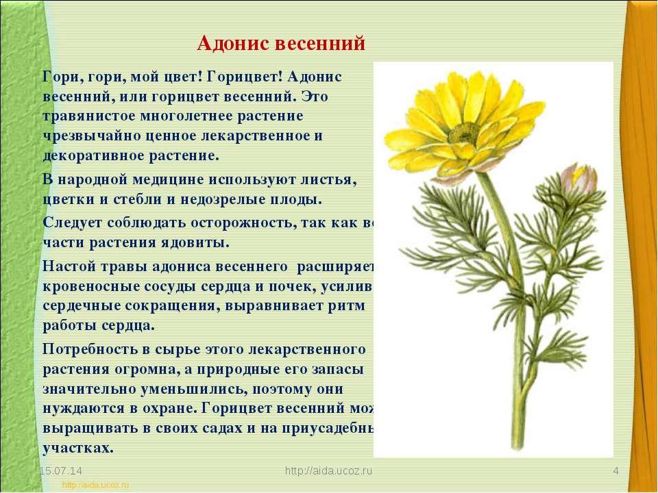 Адонис весенний Гори, гори, мой цвет! Горицвет! Адонис весенний, или горицвет...