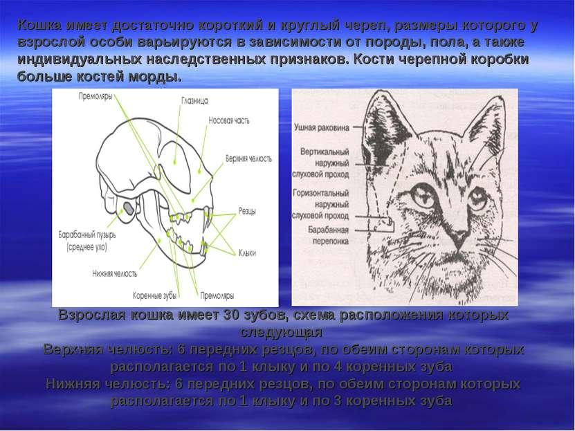 Кошка имеет достаточно короткий и круглый череп, размеры которого у взрослой ...