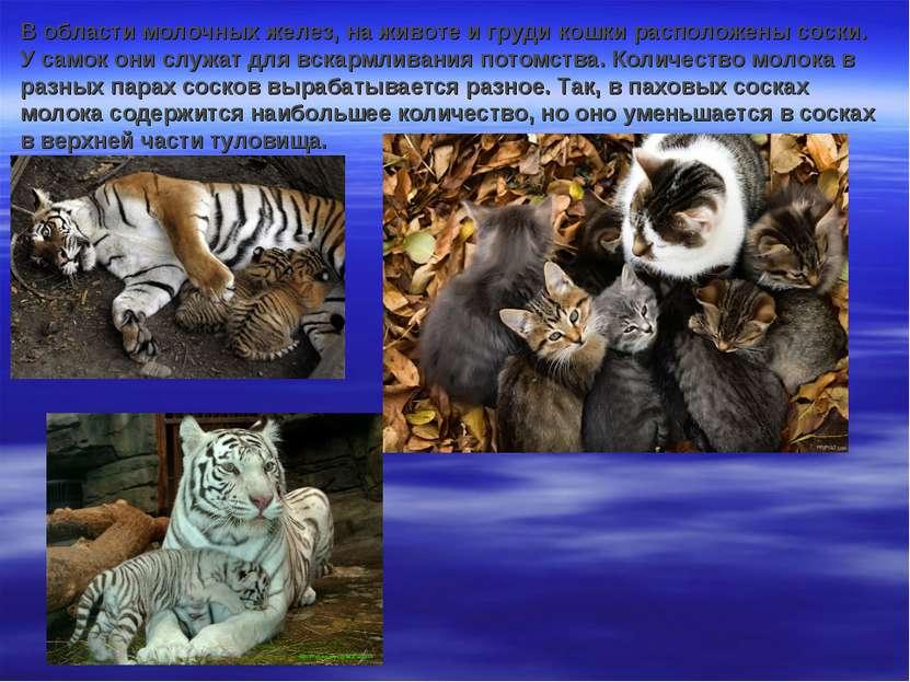 В области молочных желез, на животе и груди кошки расположены соски. У самок ...