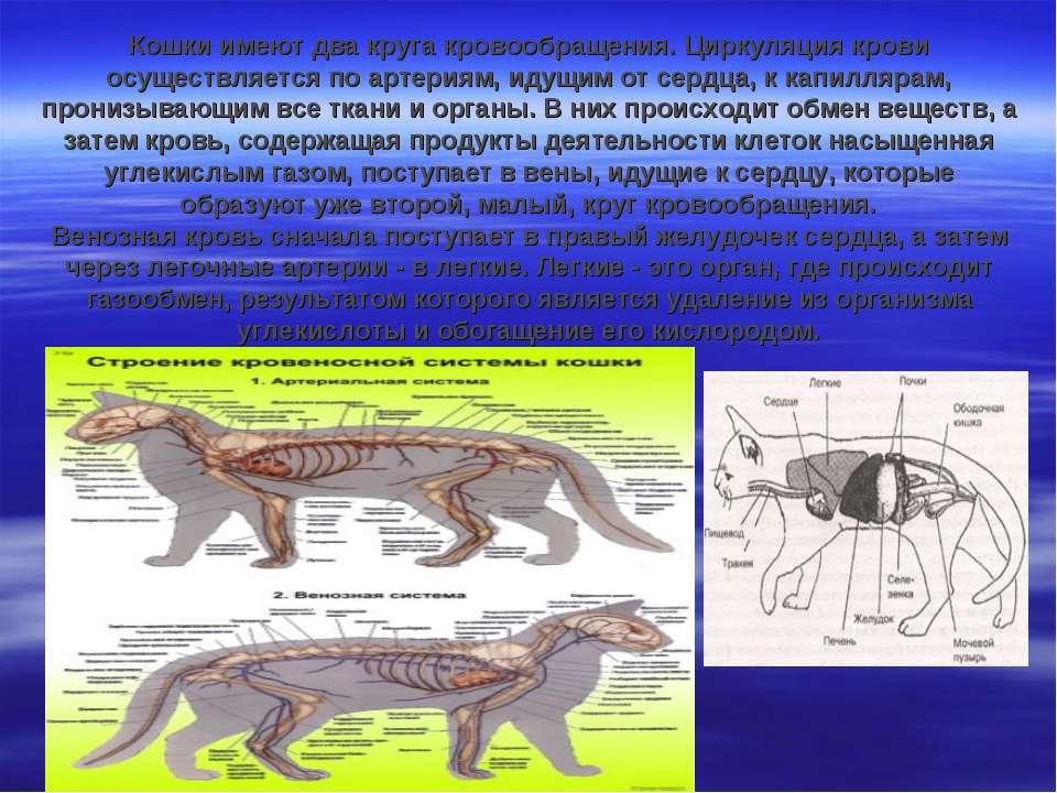 Кошки имеют два круга кровообращения. Циркуляция крови осуществляется по арте...