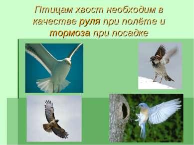 Птицам хвост необходим в качестве руля при полёте и тормоза при посадке