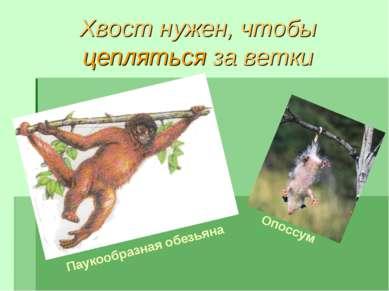 Хвост нужен, чтобы цепляться за ветки Паукообразная обезьяна Опоссум