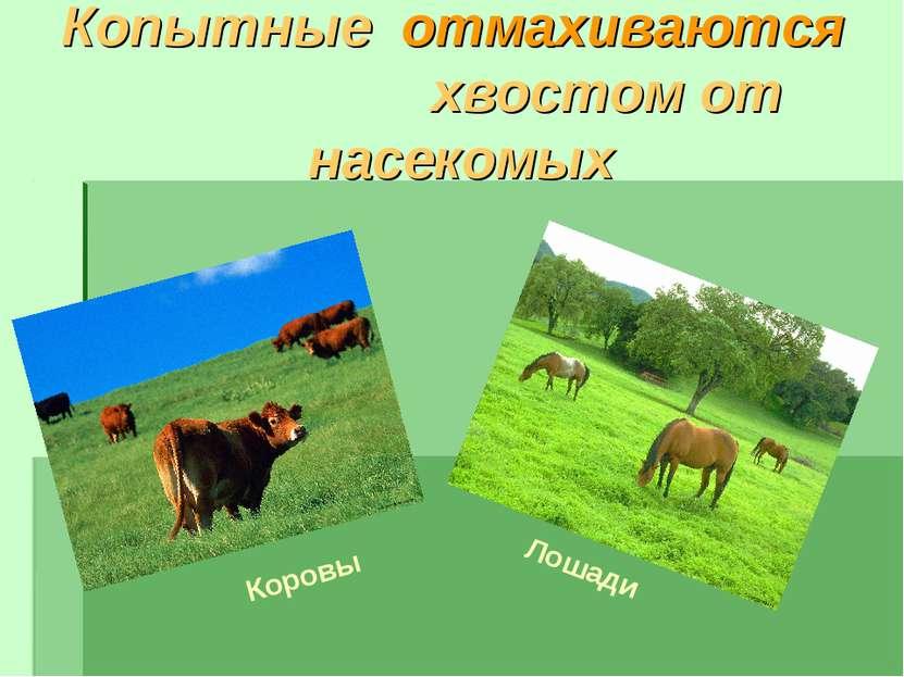 Копытные отмахиваются хвостом от насекомых Лошади Коровы