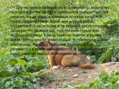 От других сурков байбака легко отличить по короткому хвосту (не более 15 см) ...