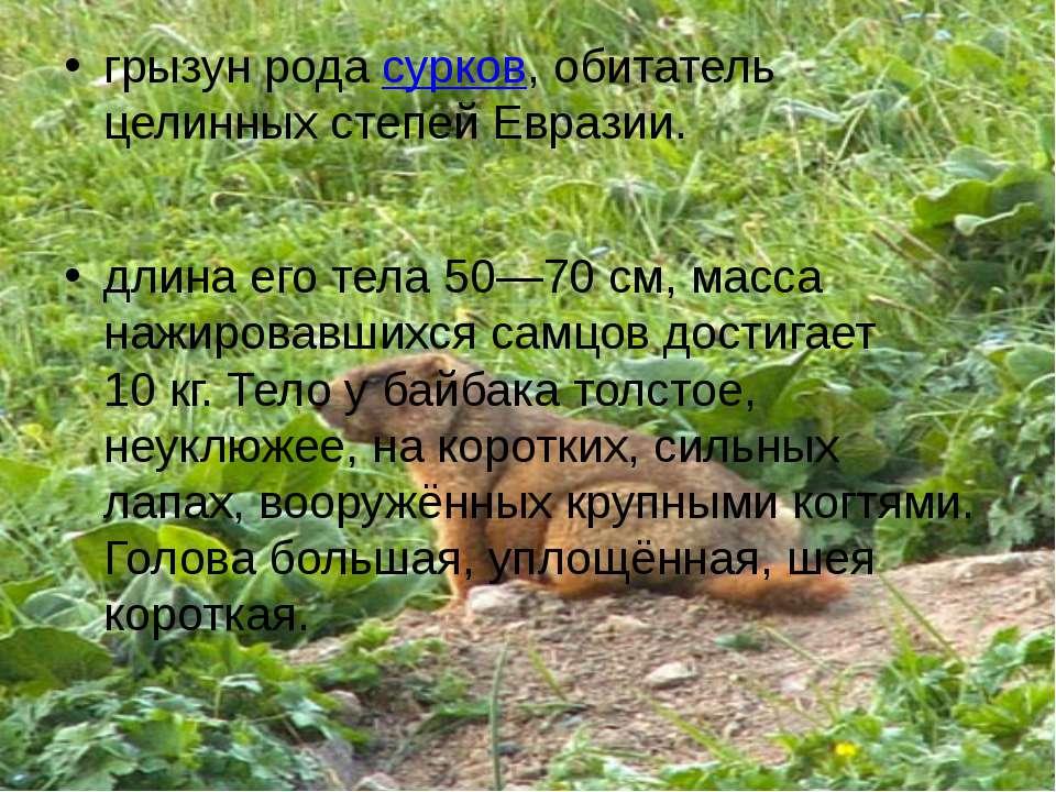 грызун рода сурков, обитатель целинных степей Евразии. длина его тела 50—70с...