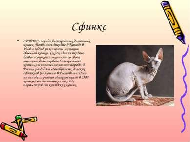 Сфинкс СФИНКС, порода бесшерстных домашних кошек. Появилась впервые в Канаде ...