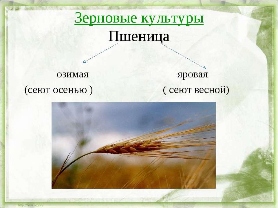 Зерновые культуры Пшеница озимая яровая (сеют осенью ) ( сеют весной)