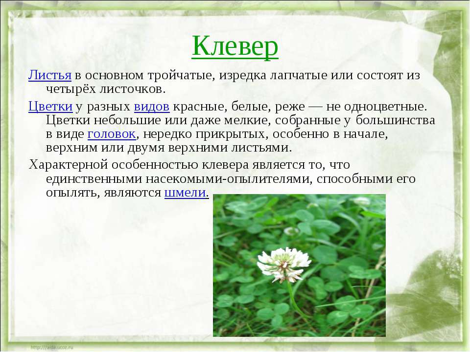 Клевер Листья в основном тройчатые, изредка лапчатые или состоят из четырёх л...