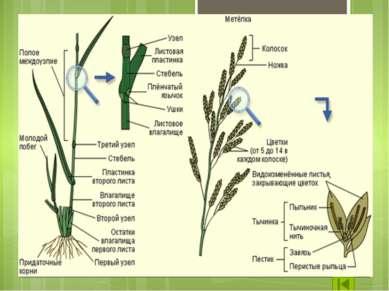 высшие растения споровые семенные голосеменные покрытосеменные мхи