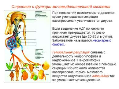 При понижении осмотического давления крови уменьшается секреция вазопрессина ...