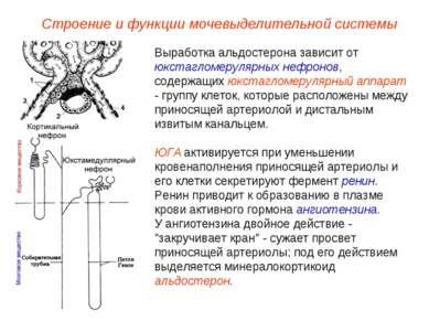 Строение и функции мочевыделительной системы Выработка альдостерона зависит о...