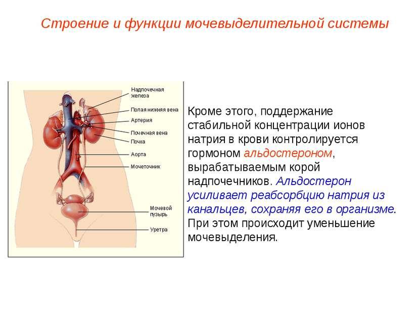 Кроме этого, поддержание стабильной концентрации ионов натрия в крови контрол...