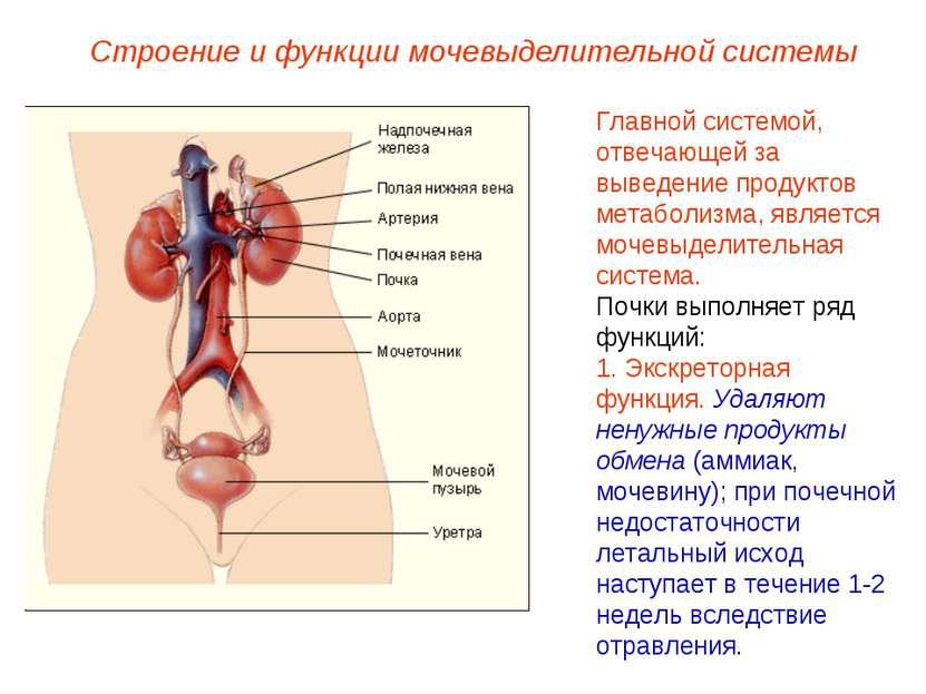 Строение и функции мочевыделительной системы Главной системой, отвечающей за ...