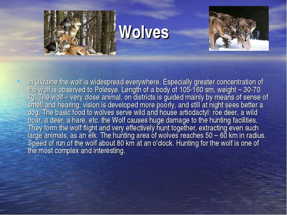 Wolves In Ukraine the wolf is widespread everywhere. Especially greater conce...