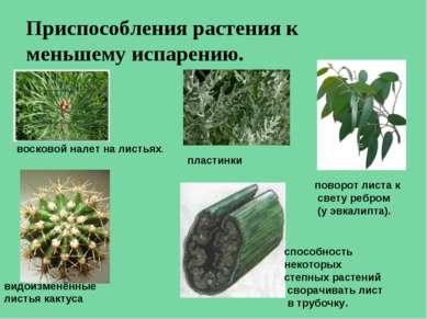 Приспособления растения к меньшему испарению. восковой налет на листьях. плас...