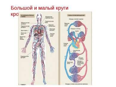 Большой и малый круги кровообращения
