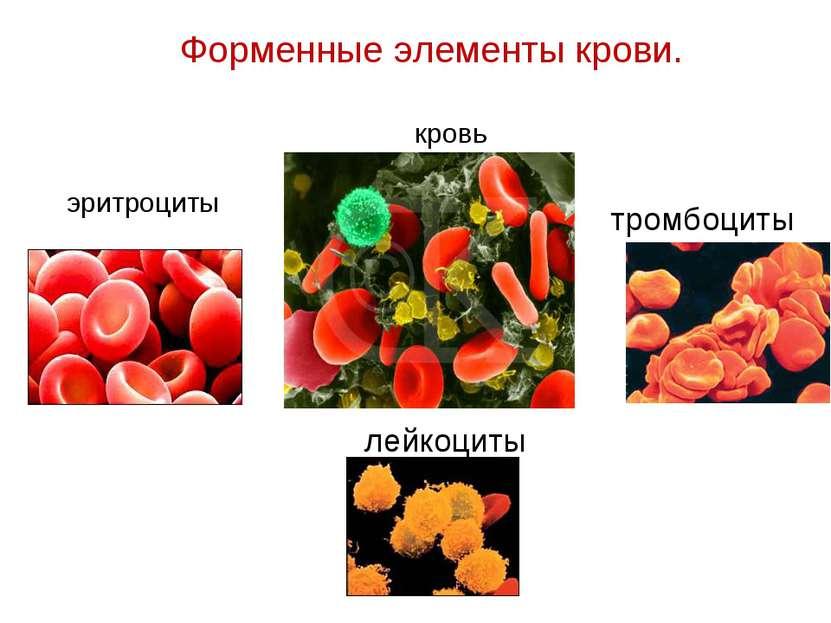 Форменные элементы крови. эритроциты тромбоциты лейкоциты кровь