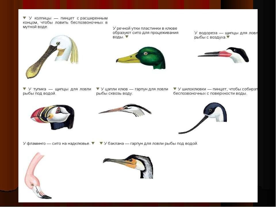 11 клёст птица получила своё название за клюв, напоминающий клещи