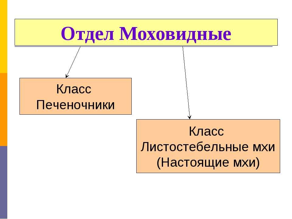 Отдел Моховидные Класс Печеночники Класс Листостебельные мхи (Настоящие мхи)