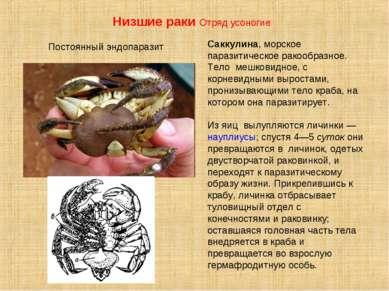 Саккулина, морское паразитическое ракообразное. Тело мешковидное, с корневидн...