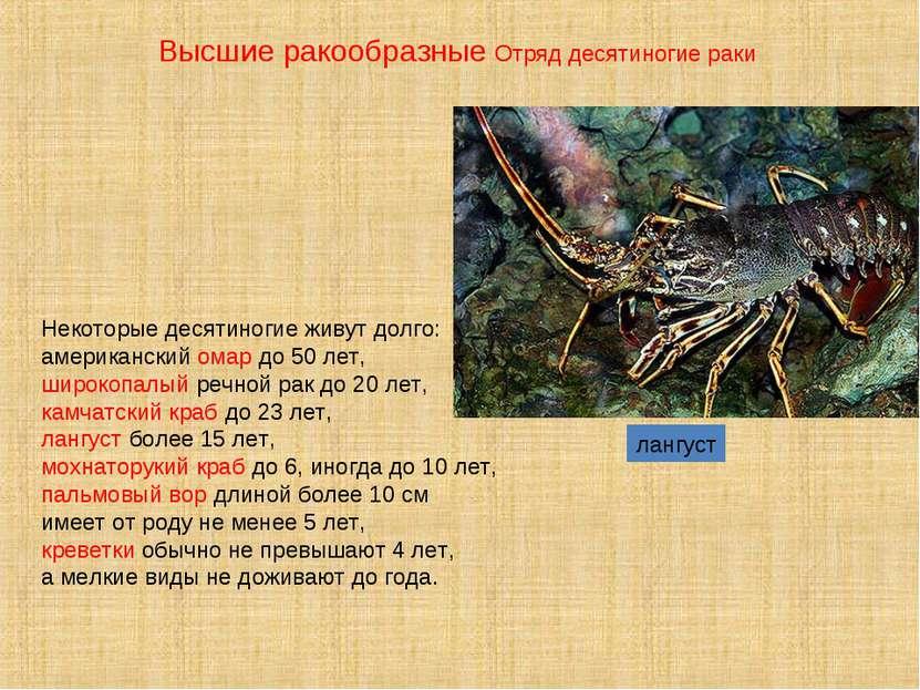 лангуст Некоторые десятиногие живут долго: американский омар до 50 лет, широк...