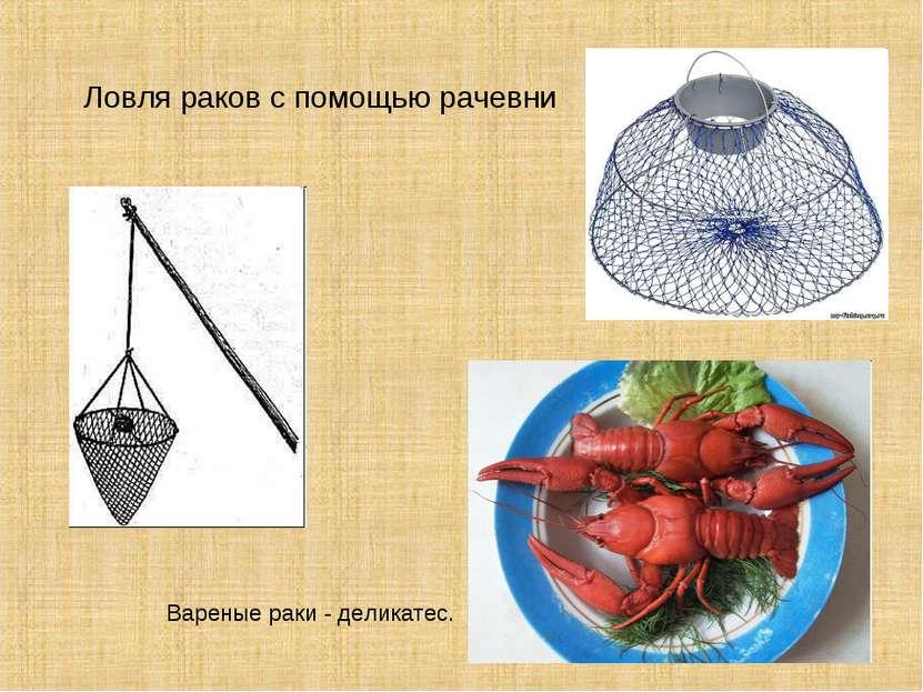 Ловля раков с помощью рачевни Вареные раки - деликатес.