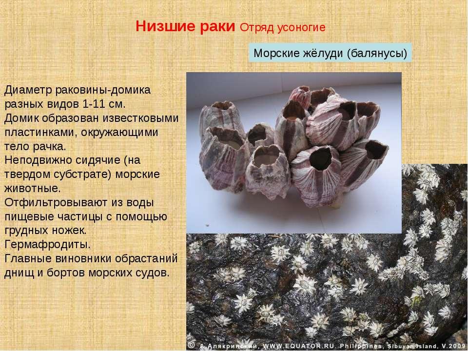 Морские жёлуди (балянусы) Низшие раки Отряд усоногие Диаметр раковины-домика ...