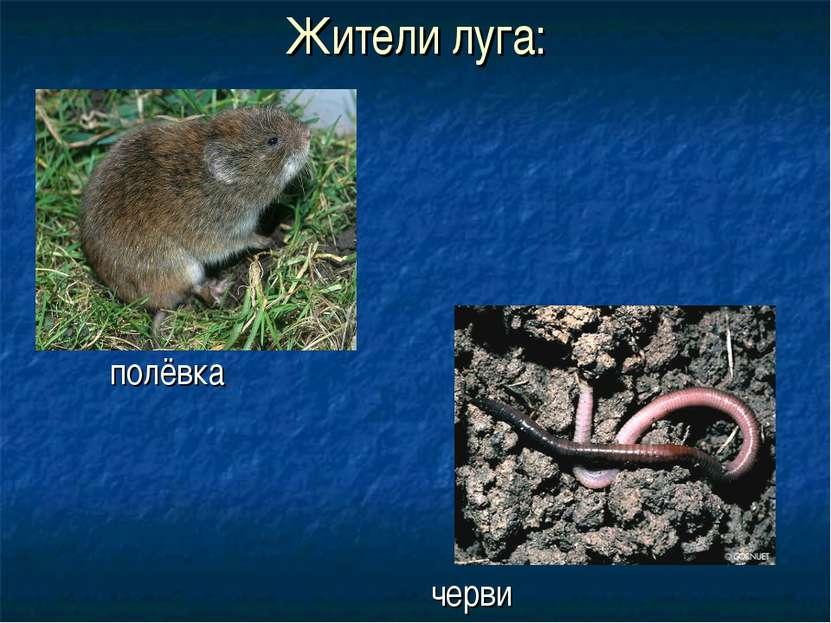 Жители луга: полёвка черви