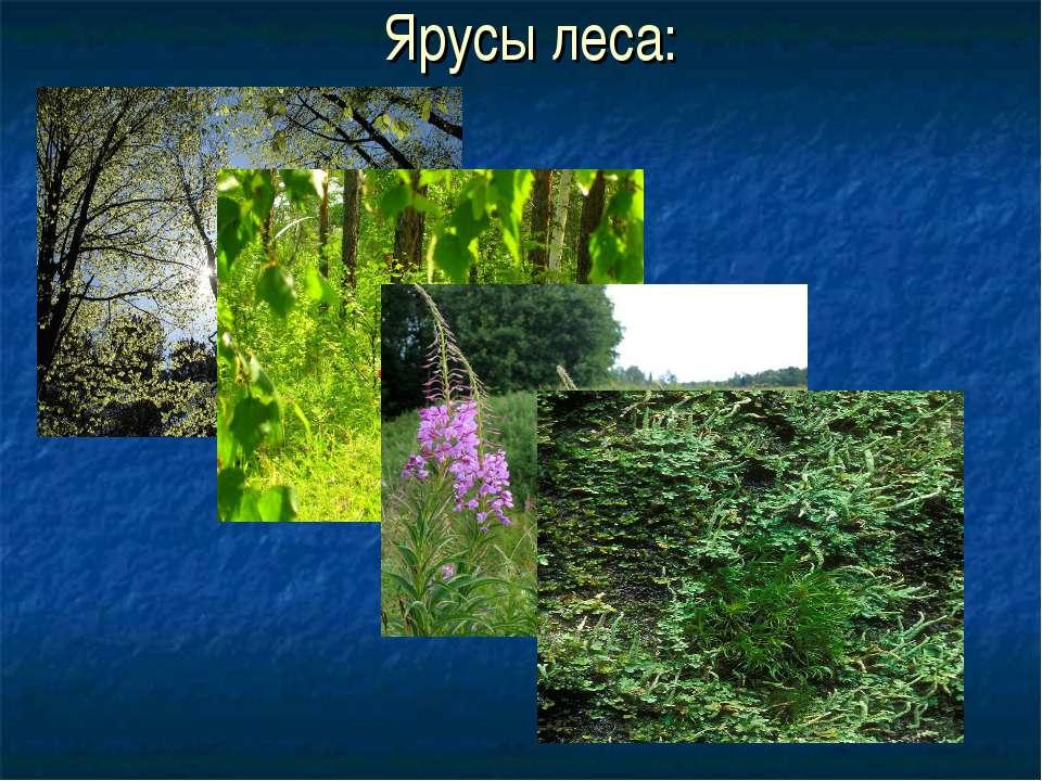 Ярусы леса: