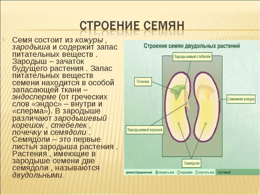 Семя состоит из кожуры , зародыша и содержит запас питательных веществ . Заро...