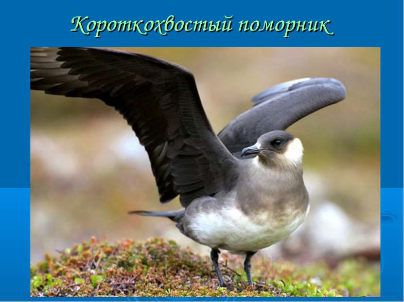Короткохвостый поморник