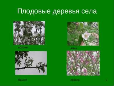 * Плодовые деревья села Вишня персик Айва яблоня