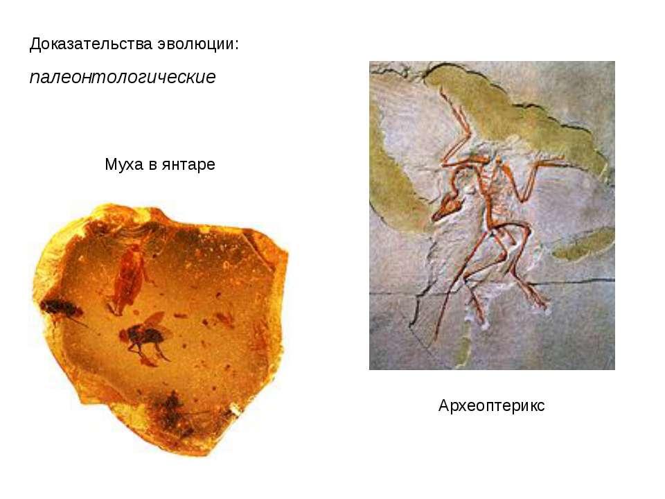 Доказательства эволюции: палеонтологические Археоптерикс Муха в янтаре