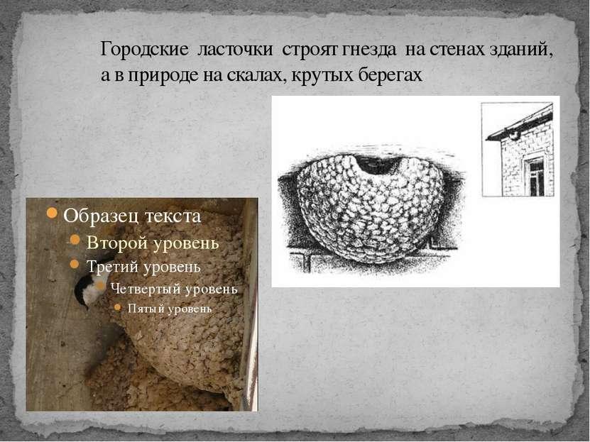 Городские ласточки строят гнезда на стенах зданий, а в природе на скалах, кру...