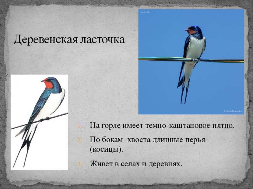 На горле имеет темно-каштановое пятно. По бокам хвоста длинные перья (косицы)...