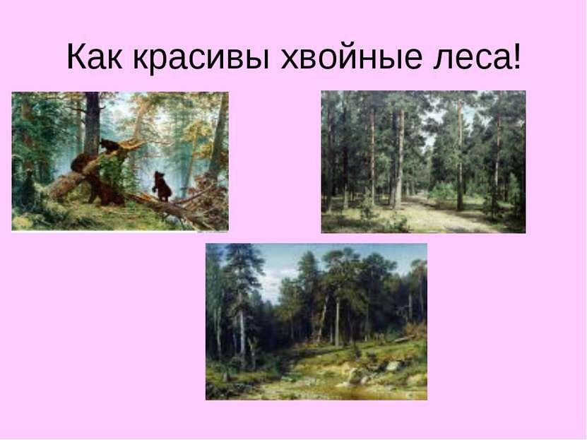 Как красивы хвойные леса!