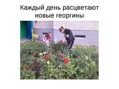 Каждый день расцветают новые георгины
