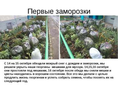 Первые заморозки С 14 на 15 октября обещали мокрый снег с дождем и заморозки,...