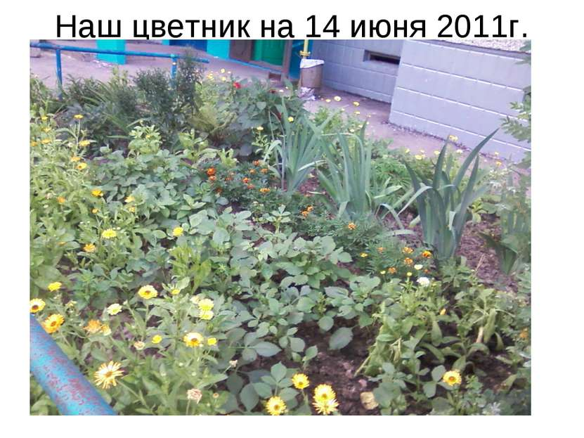 Наш цветник на 14 июня 2011г.