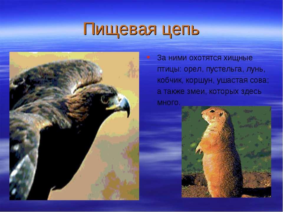 Пищевая цепь За ними охотятся хищные птицы: орел, пустельга, лунь, кобчик, ко...