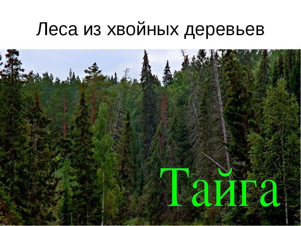 Леса из хвойных деревьев