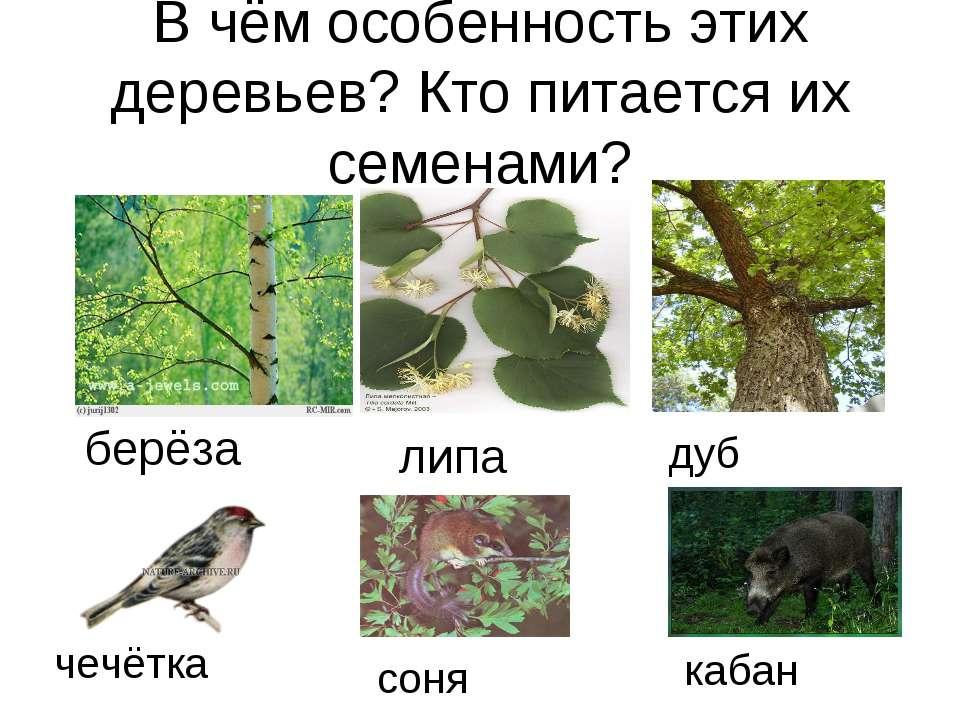 В чём особенность этих деревьев? Кто питается их семенами? берёза липа дуб че...