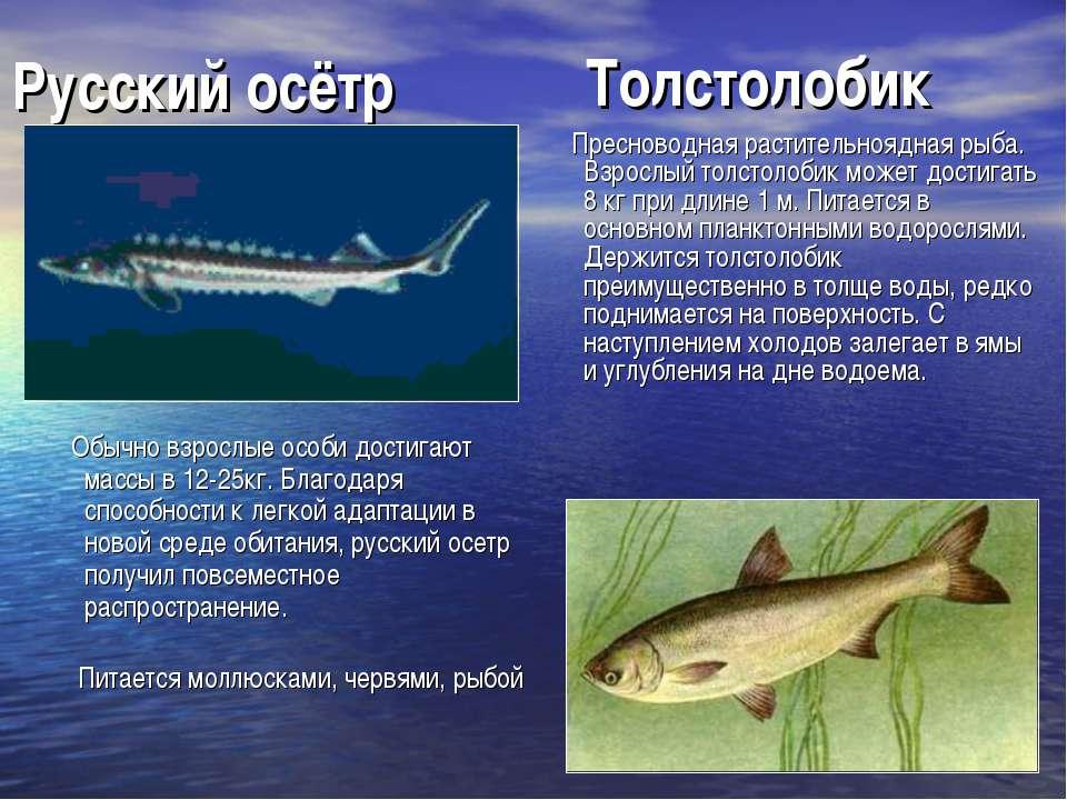 Русский осётр Обычно взрослые особи достигают массы в 12-25кг. Благодаря спос...