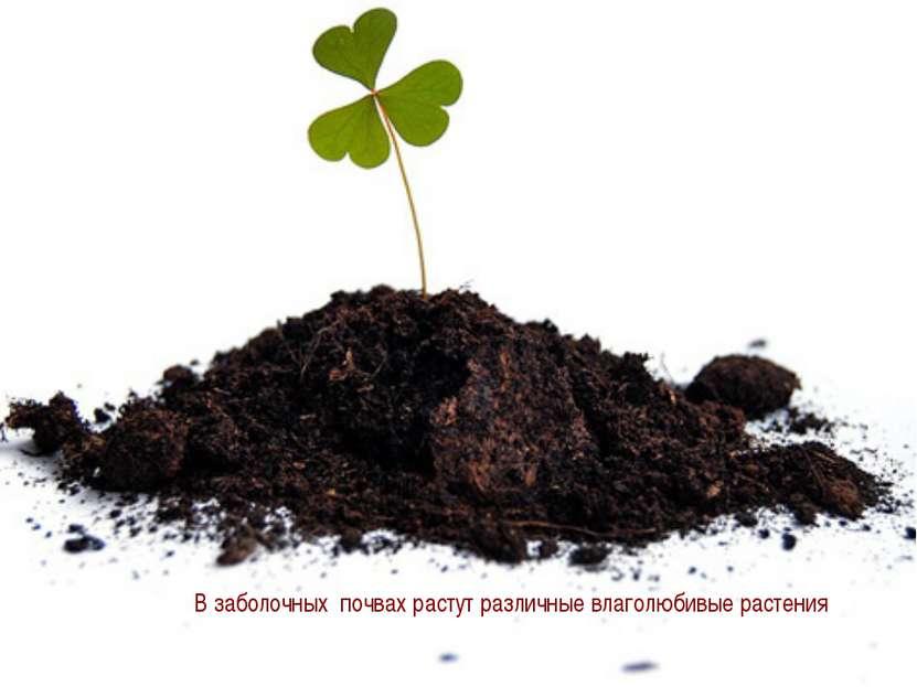 В заболочных почвах растут различные влаголюбивые растения