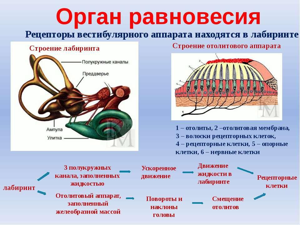 Строение отолитового аппарата 1 – отолиты, 2 –отолитовая мембрана, 3 – волоск...