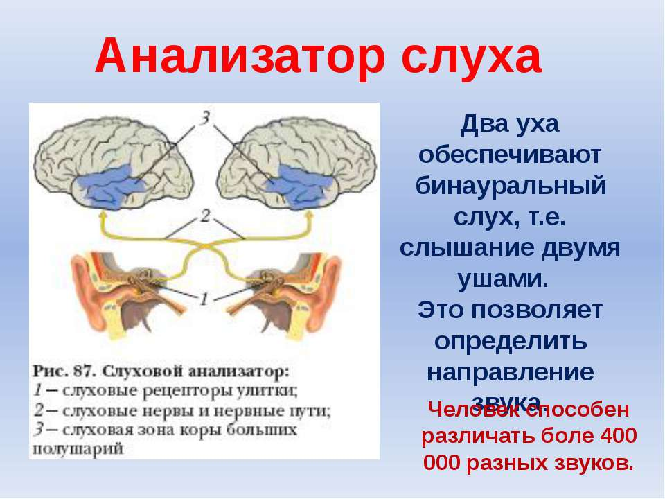 Два уха обеспечивают бинауральный слух, т.е. слышание двумя ушами. Это позвол...