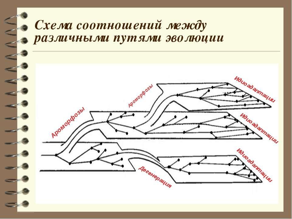 Схема соотношений между различными путями эволюции Ароморфозы Ароморфозы Идио...