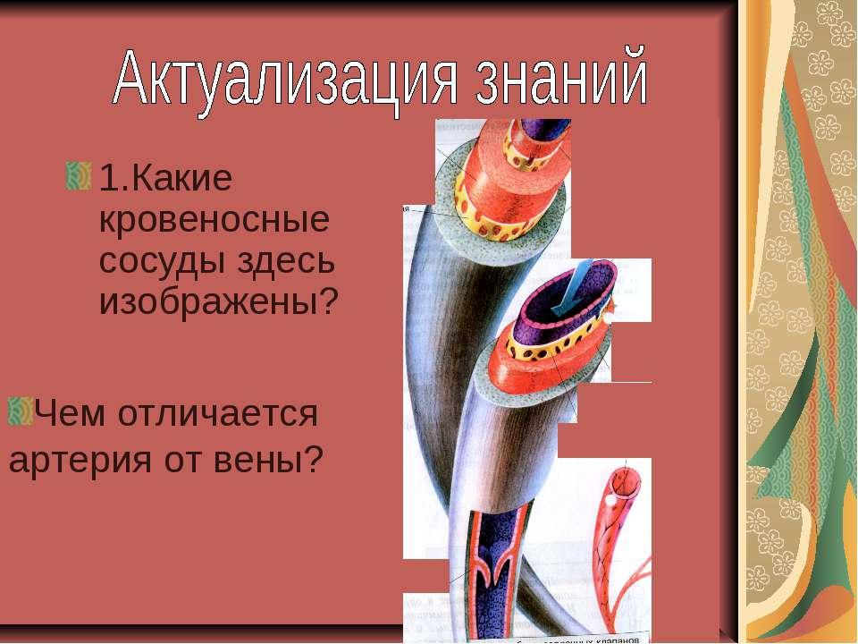 1.Какие кровеносные сосуды здесь изображены? Чем отличается артерия от вены?